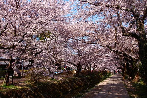 京.櫻花 l 05 哲學之道。舖天蓋地的滿開櫻花 @偽日本人May.食遊玩樂