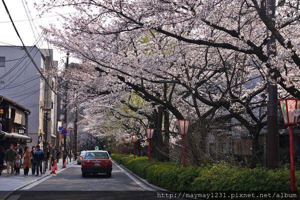 京.櫻花 l 07 高瀨川。步行在日光灑落和遍佈櫻花的街道 @偽日本人May.食遊玩樂